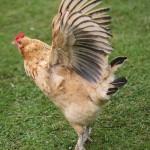 WingsChicken